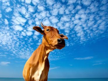 У меня есть одна священная корова